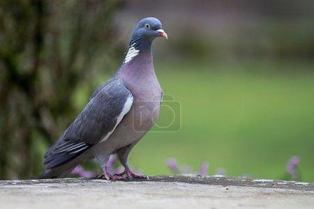 Photo pour Un pigeon ramier, grand européen Saon, prises isolément, avec un fond naturel vert d'un jardin - image libre de droit