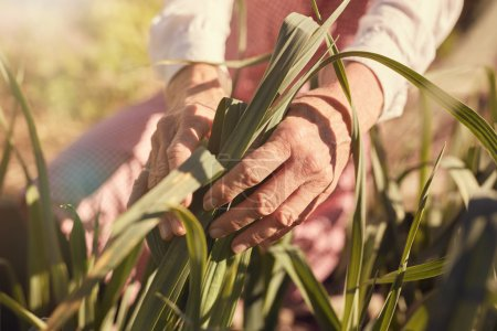 hands of woman inspecting leaves of corn