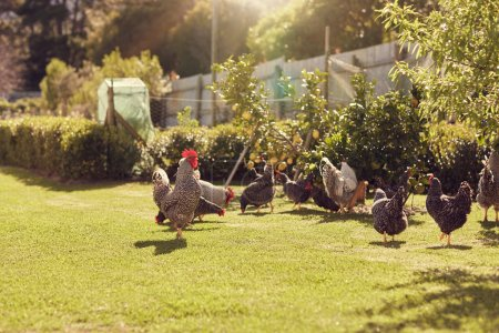 Chickens walking around lawned garden
