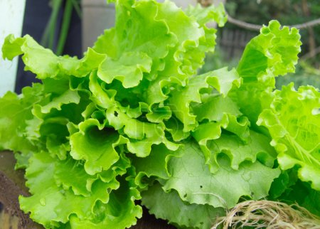 Fresh green lettuce close-up. The concept of a hea...