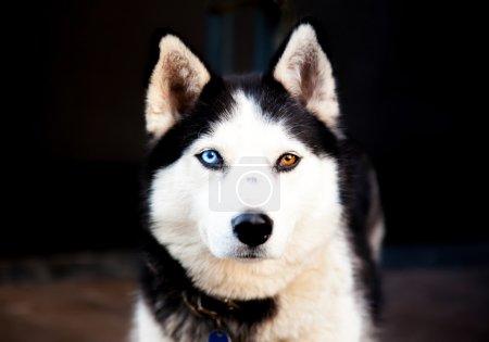 Portrait Siberian Husky