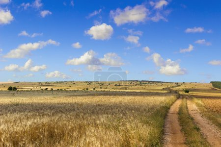 SUMMER LANDSCAPE. Alta Murgia Nationa Park: field of wheat. - (Apulia) ITALY-