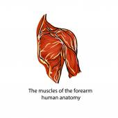 Muscles Muscle fibers Anatomy of the human hand A structure of muscles of the shoulder of the person the design was simplified in the vector