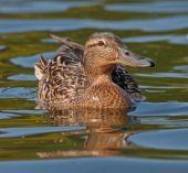 Nádherný kachna plavat na jezeře