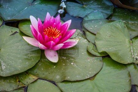 Photo pour Nénuphar rose nature fond - image libre de droit