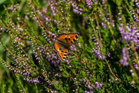 Colored butterfly on lavender flowers