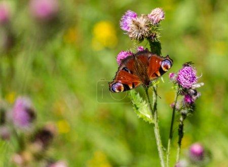 Beautifull red/orange butterflies on flowers