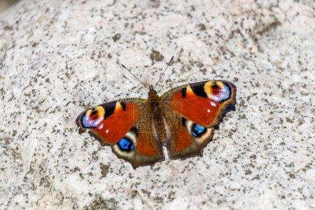Beautifull butterfly on rock/stone