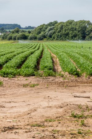 Vegetable field on the country side