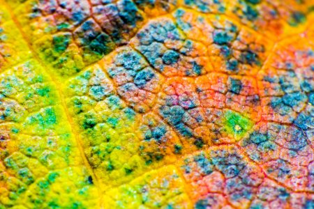 Photo pour Vue macro feuille d'érable colorée. motif et texture. mise au point douce. faible profondeur de champ - image libre de droit