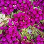 Globe amaranth beauty flower....