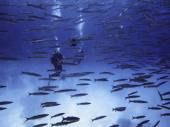 School of barracuda fish with divers at Dahab, Red sea, Egypt, Sinai.