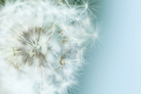 flying dandelion seeds