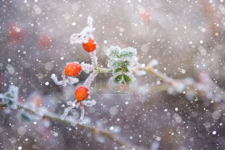 Large rose hips with ice