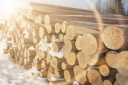trunks of felled trees
