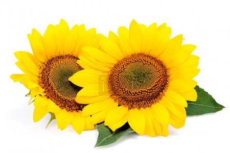 Two sunflowers with green leaves isolated on white