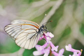 White butterfly sat on a lilac flower