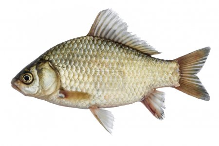 Isolated crucian carp, a kind of fish from the sid...