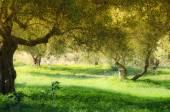 Krétské olivové stromy