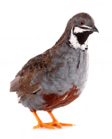 Photo for This is a king quail, also known as Chinese quail. - Royalty Free Image
