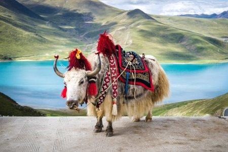Tibetan yak at Yamdrok lake