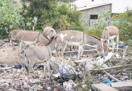Donkey of Lamu and garbage...