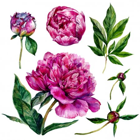 Illustration for Watercolor peonies and leaves. Hand drawn illustration isolated on white background - Royalty Free Image