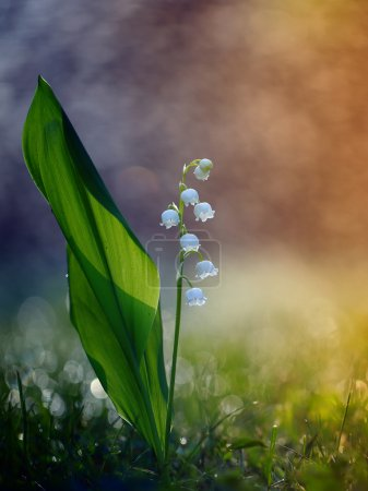 Lily of the valley on awakening the day.