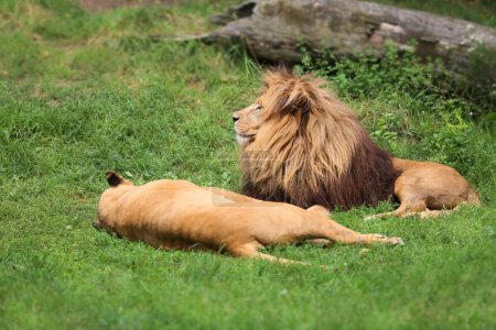 A pair of lions during mating