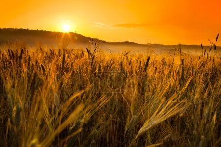 Tuscany wheat field hill at sunrise