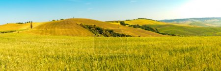 Colline de champ de blé Tuscany dans une journée ensoleillée