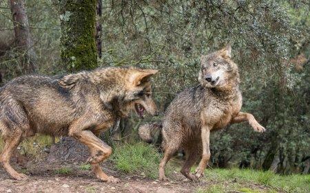 Couple of iberian wolves flirting
