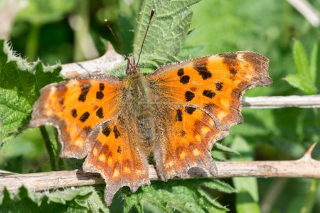 Comma butterfly in Spring