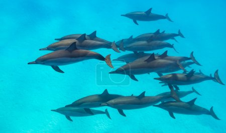 Spinner dolphins scene from above