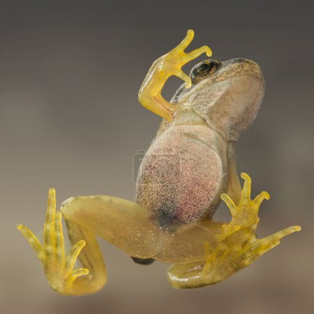 A common frog taken from below through glass