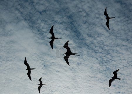 Magnificent frigate birds silhouetted in flight