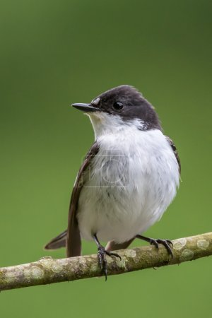 Facing profile of male pied flycatcher perching