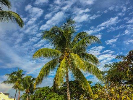 Photo pour La pluie va et vient rapidement dans les bahamas. C'était un regard éphémère d'un arc-en-ciel derrière un palmier dans l'île de la Nouvelle-Providence. Décembre - image libre de droit