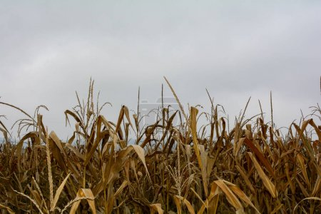 A dried out corn field in autumn with sky and copy space