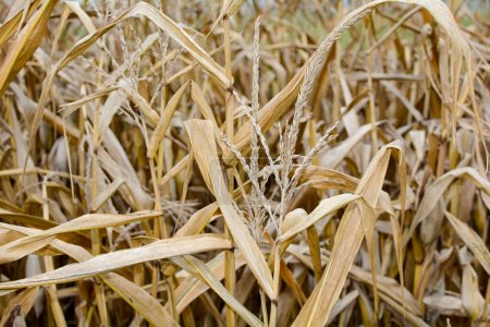 A dried out corn field in autumn in close up