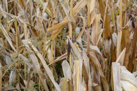 A dried up cob in a field in autum
