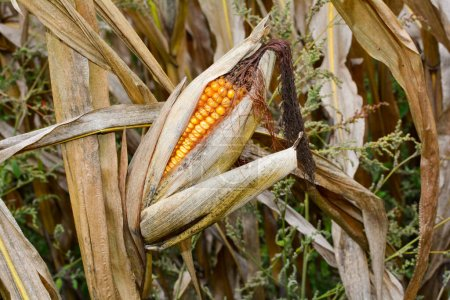 A dried up cob in a field in autumn in detail