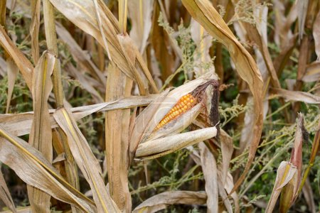 Close up from a  dried up cob in a field in autumn