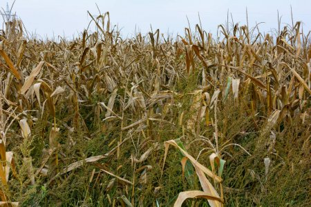 A dried out corn field in autumn with sky