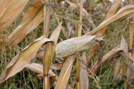A dried up cob in a field in autumn