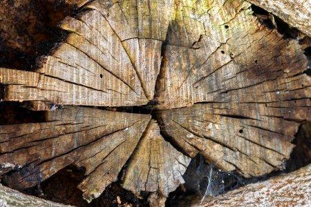 Photo pour Vue rapprochée de la vieille branche d'arbre coupée. - image libre de droit
