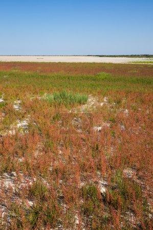 Prairie of wild red grass