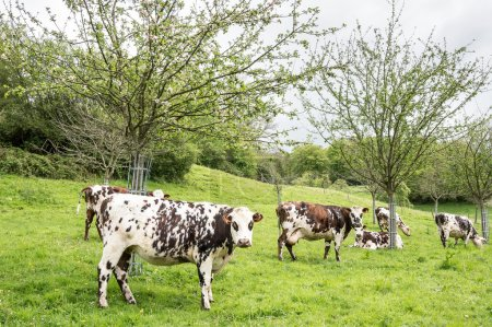 Photo for Milk cows under the apple trees, Normandy, France - Royalty Free Image