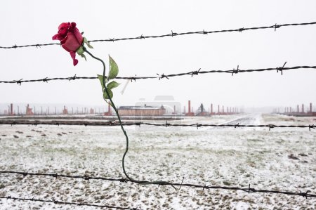 A rose on the Barbed Wire Fence