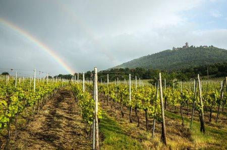 Double rainbows over a vineyard